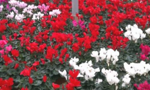 Roses Garden Centre